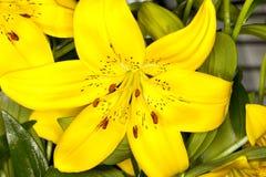 Gigli asiatici gialli Fotografie Stock Libere da Diritti