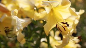 Gigli aurelian della tromba gialla Mazzo di crescita di fiori freschi nel giardino di estate Concetto di giardinaggio stock footage