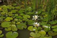 Gigli bianchi di fioritura nell'acqua immagine stock libera da diritti