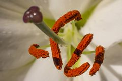 Gigli bianchi nel giardino fiore del giglio, bello giglio, immagine stock libera da diritti