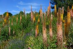 Gigli della coda di volpe nel giardino di estate Fotografie Stock