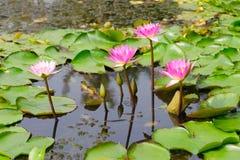Gigli di acqua Fotografia Stock