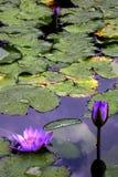 Gigli di acqua Fotografia Stock Libera da Diritti