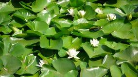 Gigli di acqua bianca Immagine Stock