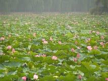 Gigli di acqua cinesi Fotografie Stock Libere da Diritti