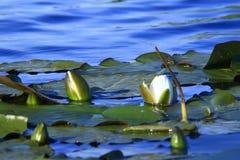 Gigli di acqua selvatici Fotografia Stock Libera da Diritti