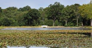 Gigli di acqua su uno stagno tranquillo Fotografia Stock