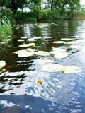 Gigli di acqua sulla superficie del fiume Immagine Stock Libera da Diritti