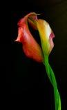 Gigli di Calla fotografie stock libere da diritti