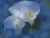 Gigli di Calla sull'azzurro fotografia stock