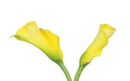 Gigli di Callas gialli magnifici isolati su bianco immagine stock