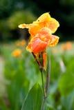 Gigli di canna arancioni e gialli Immagini Stock Libere da Diritti