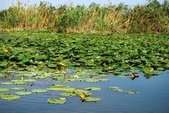 Gigli di delta del Danubio fotografie stock