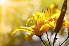 Gigli di fioritura gialli un giorno soleggiato Immagini Stock