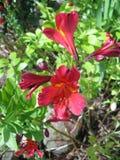 Gigli di fioritura rossi di Perivian in Australia Immagini Stock Libere da Diritti