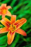 Gigli di tigre arancio che fioriscono nel giardino Fotografia Stock Libera da Diritti