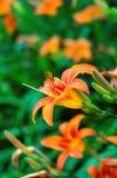 Gigli di tigre arancio che fioriscono nel giardino Fotografie Stock Libere da Diritti