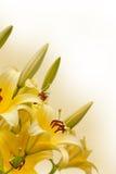 Gigli gialli Fotografia Stock Libera da Diritti