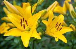Gigli gialli Immagini Stock