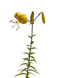 Gigli gialli asiatici Fotografie Stock