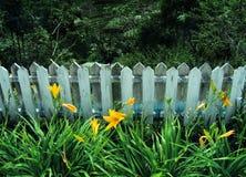Gigli gialli dalla vecchia rete fissa di legno Fotografia Stock Libera da Diritti