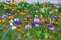 Gigli gialli in fioritura Immagine Stock