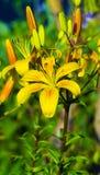 Gigli gialli Gigli di tigre gialli Fotografie Stock Libere da Diritti