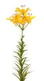 Gigli gialli, isolati. Immagine Stock Libera da Diritti