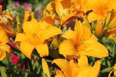Gigli gialli luminosi Tappeto dei gigli nel giardino di estate Fotografie Stock