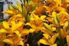Gigli gialli nel giardino Fotografie Stock Libere da Diritti