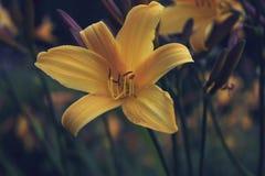 Gigli gialli nel giardino Fotografia Stock Libera da Diritti