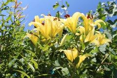Gigli gialli nel giardino Cielo blu Fotografie Stock Libere da Diritti