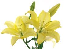 Gigli gialli su una filiale Fotografia Stock