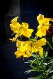 Gigli gialli sui precedenti scuri Fotografia Stock Libera da Diritti