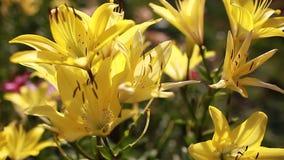 Gigli ibridi asiatici gialli Mazzo di crescita di fiori freschi nel giardino di estate Concetto di giardinaggio archivi video