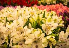 Primo piano delle piante di fioritura variopinte di Alstroemeria Immagine Stock Libera da Diritti