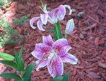 Gigli porpora della stella in primavera Fotografia Stock