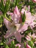 Gigli rosa Fotografie Stock