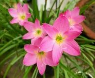 Gigli rosa della pioggia fotografia stock