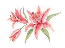Gigli rosa di sognatore di Bush su un fondo bianco fotografia stock
