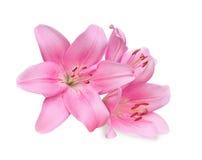 Gigli rosa su fondo bianco Fotografia Stock
