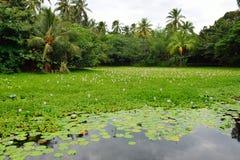 Gigli sul lago tropicale nella grande isola delle Hawai immagine stock libera da diritti