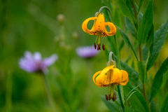 Giglio aka Tiger Lily di Colombia Fotografia Stock