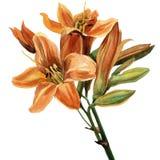 Giglio arancio Fotografie Stock