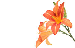 Giglio arancio (giglio arancio isolato) Fotografia Stock Libera da Diritti