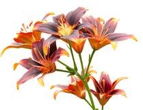Giglio arancio fotografie stock libere da diritti