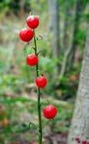 Giglio Berrys di maggio Fotografia Stock