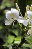 Giglio bianco dello zenzero, fower famoso per il suo profumo Immagini Stock