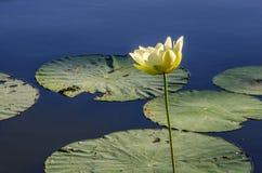 Giglio bianco, lago Reelfoot nel Tennessee Immagini Stock