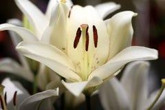 Giglio bianco porpora Fotografia Stock